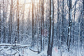 Winter forest with snow and frost on the trees in the sunlight
