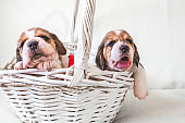 Two cute puppies in basket.