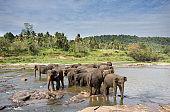 Elephant orphanage Pinnawala in Sri Lanka