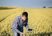 Farmer in wheat field in early summer