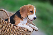 Portrait of a cute beagle puppy inside  wicker basket,its hand hold the edge of the basket.