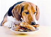 Beagle dog looking  to roasted chicken leg