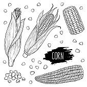 Hand drawn isolated corn cobs and grain set