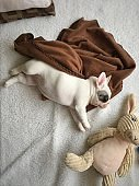Overhead view of 8 weeks old French Bulldog puppy sleeping next to her toy