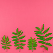 Green rowan tree leaves on bright pink background