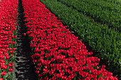 Tulips fields.