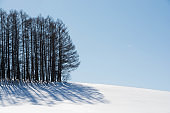 Larch forest on the hill of snow in Biei