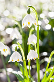 Spring snowflake (Leucojum vernum) in front of many other flowers