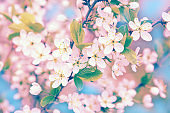 Sakura with soft focus, pink cherry blossom season