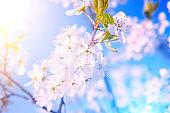 Cherry blossom sakura in spring time over blue background