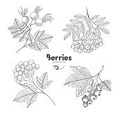 Viburnum, rowan, rosehip, currant. Berries isolated on white background. Vector illustration. Hand drawing style vintage engraving. Greenery for create the menu, recipes, decorating kitchen items.