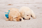 Two cute newborn puppies with blue ribbons lying next to each other