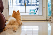 Pomeranian dog is waiting for someone to open the door. cute puppy dog sitting at the front door looking outside waiting someone coming back home.