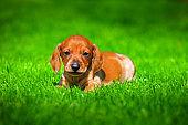 Dachshund Puppy autumn garden