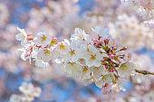White Cherry Blossom Sakura in Japan