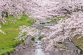 Beautiful Cherry Blossom Sakura at Tachikawa Park in Tokyo Japan