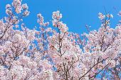 Full bloom of Cherry Blossom Sakura with blue sky in Japan