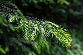 Background of Christmas tree branches. Conifer tree