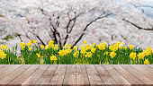 Empty wood table top,yellow flower and blurred sakura flower tree in garden background - can used for display or montage your products.