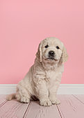 Cute golden retriever puppy looking at the camera sitting on a pink living room studio setting in a vertical image