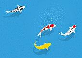 Swim Nishikigoi. Japanese freshwater fish.