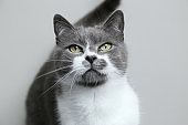 Gray cat looks into the camera. Portrait of a cute pet.