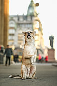 Cheerful brown Shepherd dog begging on square