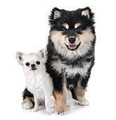 puppy Finnish Lapphund and chihuahua