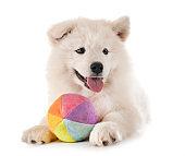 puppy samoyed dog