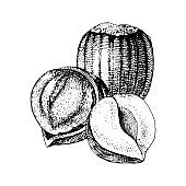 Vector hand drawn hazelnuts