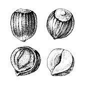 4 hand drawn hazelnuts