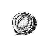 Vector hand drawn hazelnut