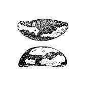 Hand drawn brazil nuts