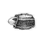 Hand drawn brazil nut in broken shell