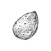 Hand drawn almond in shell