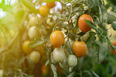 close up organic little cherry tomatoes branch  grow in the farm
