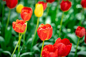 Tulips flower garden