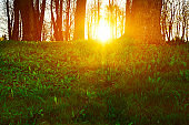 Forest sunset landscape - forest trees at sunset