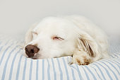CUTE DOG SLEEPING ON OWNER'S STRIPED BED.
