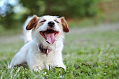PORTRAIT HAPPY JACK RUSSELL DOG LYING DOWN ON GREEN GRASS AT THE PARK