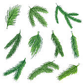 Evergreen pine branches vector color illustrations collection
