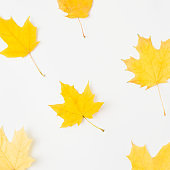 maple pattern autumn background yellow leaves