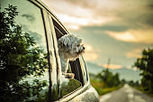 The dog sits in the car and looks out of the window enjoying the ride