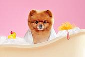 Pretty spitz bathing in a bath tube