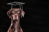 Head portrait of a pointer dog with chalk paint of mortar board