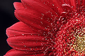 Beautiful natural background. Summer, spring concepts. Big beautiful water drops on fresh red Gerber flower on dark background. Copy space. Template for design. Soft focus. Macro shot