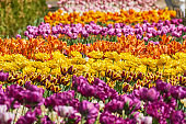 Beautiful pink and yellow tulip fields in spring, natural background