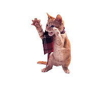 A red kitten in a plaid scarf stands on its hind legs, its front paws holds up with its claws extended. Isolated on white background