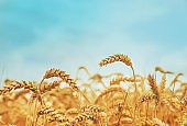 Wheat field on a sunny day. Selective focus.