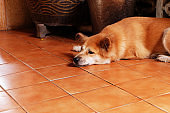 Sad dog on brown tile floor background. Bored animal at home in Thailand. Animals and wildlife design concept. Boring pets friend afternoon.